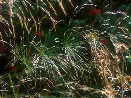 Oryzopsis miliacea Seed