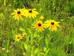 Image result for blackeyed susan tree