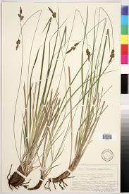 Carex fritschii - Burgenlandflora