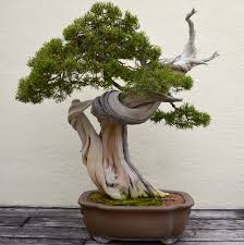 a visit with a 388 year old bonsai treewwwafterorangecountycom bonsai tree