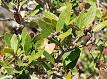 quercus vaccinifolia