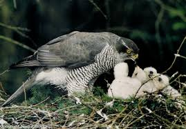 Image result for goshawk