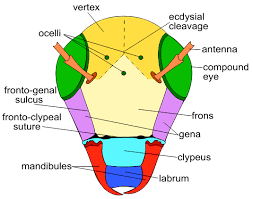 file front of insect head diagram svg   wikipediafile front of insect head diagram svg