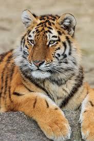 Амурский <b>тигр</b> — Википедия