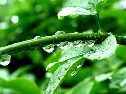 Kết quả hình ảnh cho giọt nước trên lá