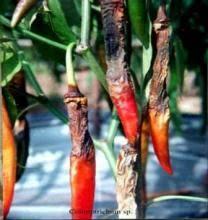 Kết quả hình ảnh cho bệnh thán thư trên ớt