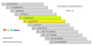 Gladiolus inarimensis [Gladiolo ischitano] - Flora Italiana