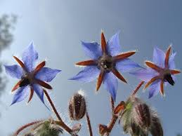 Borage - Wikipedia