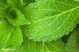 Risultati immagini per foglie verdi clorofilla