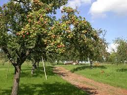 Bildergebnis für apfelbaumwiese mit Früchten