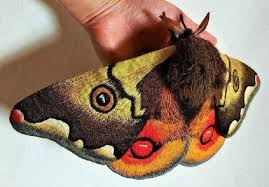 Is This a Japanese Giant Emperor Moth?