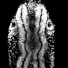 A new role for Sonic Hedgehog signalling in morphogenesis of the ...