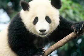 Top 10 facts about <b>Pandas</b> | WWF