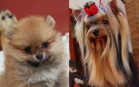 População de cachorros muito pequenos cresce nas grandes cidades