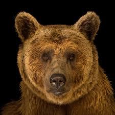 <b>Brown Bear</b> | National Geographic