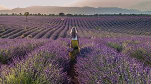 Essential Guide to the <b>Lavender Fields</b> in Provence - Limitless Secrets