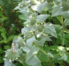 Image result for mountain mint plant