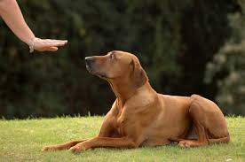 Image result for PIctures of dog obedience