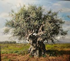 Image result for olive tree