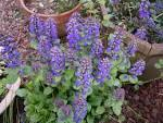 Images & Illustrations of bugleweed