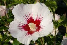 """Résultat de recherche d'images pour """"fleur blanche coeur rouge"""""""