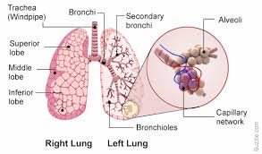 labeled diagram of the human lungslabeled diagram of human lungs