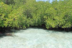 Image result for mangrove forest lembongan