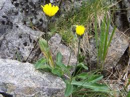 Hieracium alpinum - Wikipedia