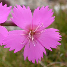 DIANTHUS SYLVESTRIS SEEDS (Woodland Pink) - Plant World ...