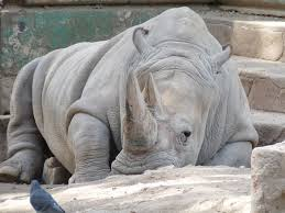 Resultado de imagen para rinoceronte blanco