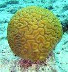 Images & Illustrations of brain coral