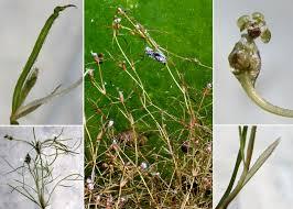 Potamogeton pusillus L. - Portale della Flora di Roma