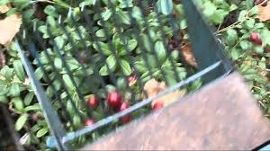 <b>Комбайн для сбора ягод</b> - YouTube