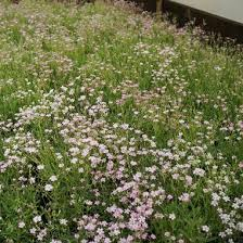 Gypsophila repens 'Rosea' Creeping Baby's Breath from Midwest ...