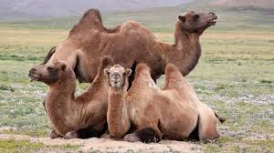Image result for bactrian camels manure Mongolia