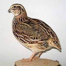 Dieter Hopfinger. Short cuts. Gehört zur kleinsten Scharrgeflügelart. Im asiatischen Raum wurde sie zuerst als Singvogel gehalten. - 1bd0ee06cb