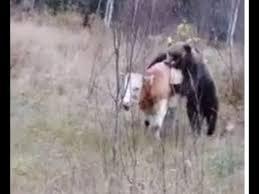 Медведь убивает корову. Часть 1. Республика Алтай. <b>18</b>+ / Bear ...