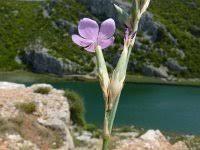 Dianthus ciliatus