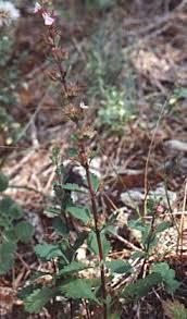 Teucrium lucidum