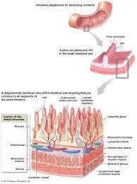 digestive systempyloric