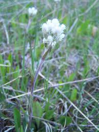 Antennaria howellii - Michigan Flora