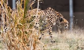 Asiatic <b>cheetah</b> - Wikipedia