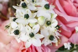 Ornithogalum arabicum (Arabian Star Flower)