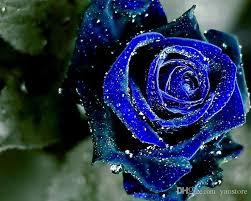 Midnight Rose Blue Color Flower Seeds <b>Free Shipping</b> Beautiful <b>Hot</b> ...