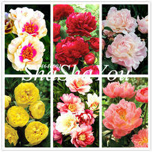 Compare prices on <b>Peony Yellow</b> - shop the best value of <b>Peony</b> ...