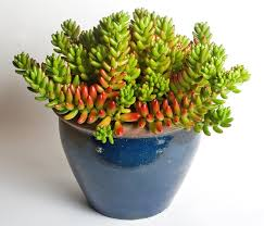 succulents or water retaining plants such as this jelly bean plant sedum rubrotinctum are often grown as houseplants best office plants no sunlight