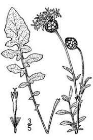 Plants Profile for Centaurea scabiosa (greater knapweed)