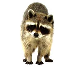 Compare Prices on Raccoon Sticker- Online Shopping/Buy Low ...