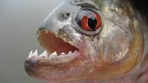 Afbeeldingsresultaat voor piranha