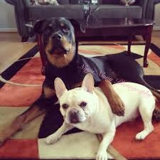 month rottweiler year old french bulldog best friends i 11 month rottweiler 5 year old french bulldog best friends i want